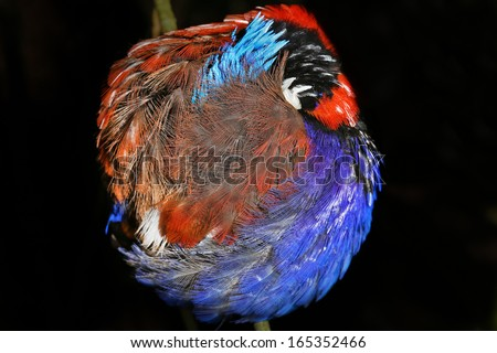 Blue-headed Pitta (Hydrornis baudii) is a species of bird in the pitta family Pittidae. It is endemic to Borneo. Here one sleeps at night in the rain forest of Danum Valley, Sabah, Malaysia, Borneo. - stock photo