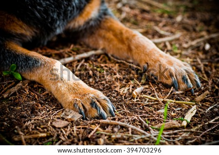 Blue Heeler dog paws resting in woods - stock photo