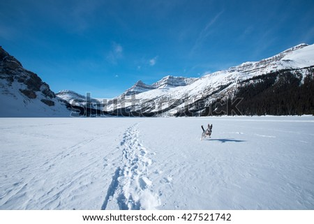 Blue Heeler dog playing in the snow Banff National Park Alberta Canada - stock photo