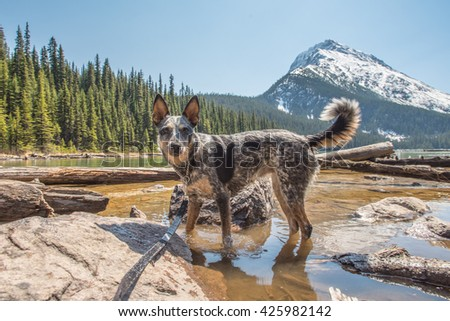 Blue Heeler playing in the water of Geraldine Lake Jasper National Park Alberta Canada - stock photo