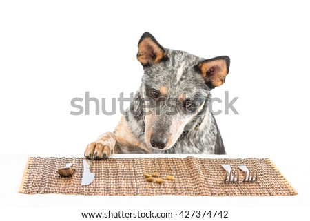 Blue heeler puppy at dinner table eating dog food off a placemat