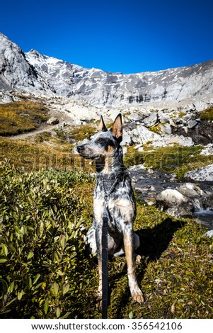 Blue Heeler puppy Hiking in the mountains, Alberta Canada - stock photo
