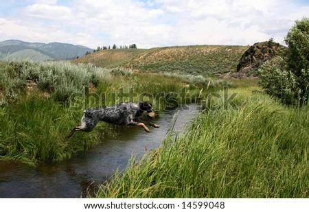 Blue heeler puppy jumping Stanley Creek, Stanley Idaho - stock photo