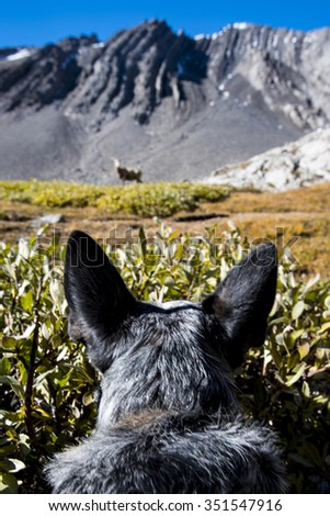 Blue Heeler puppy stalking a wild big horned sheep in the mountains, Alberta Canada - stock photo