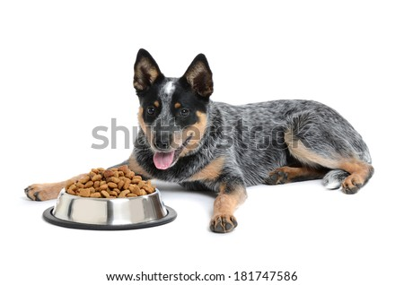 blue heeler puppy with bowl of food isolated white background - stock photo