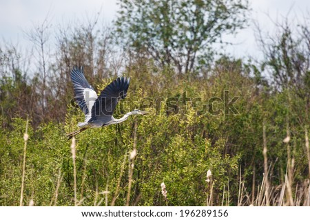 Blue heron spreads its wings wide while flying - stock photo