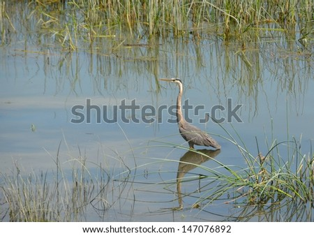 blue Heron standing in the waters of the Saint Lawrence river, near the Islands of Sorel