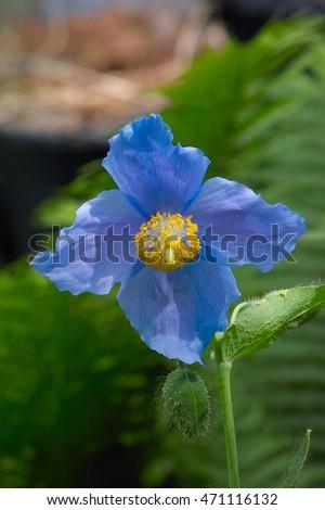 Himalayan Blue Poppy Bouquet Blue Poppy Stoc...