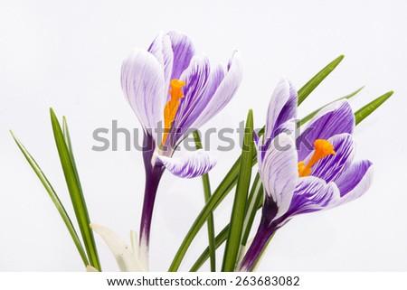 blue hyacinth on white background - stock photo