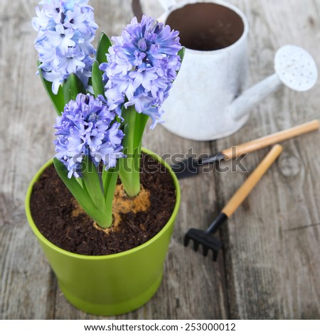 Blue hyacinths and garden tools on a wooden background - stock photo