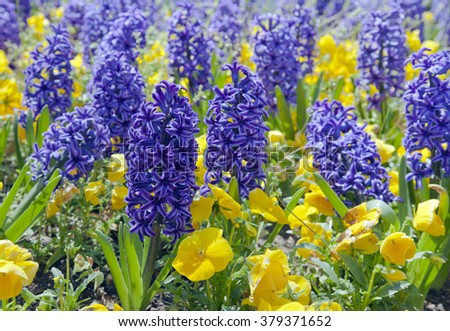 Blue hyacinths blooming in spring garden - stock photo