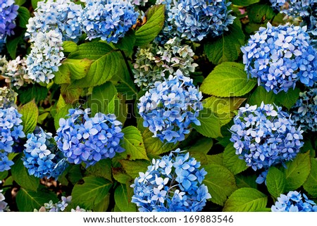 Blue hydrangea blossom with green leaves. - stock photo