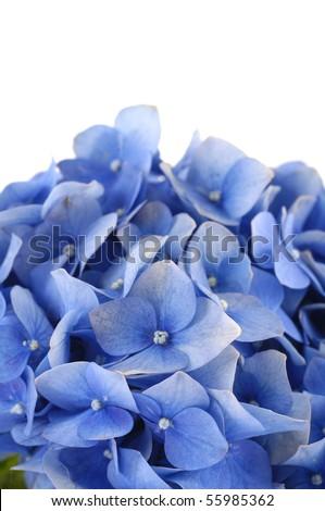blue hydrangea border - stock photo