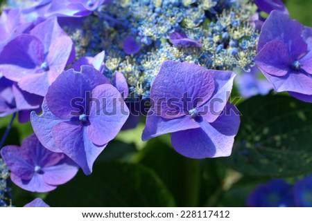 Blue hydrangea close up in the garden  - stock photo