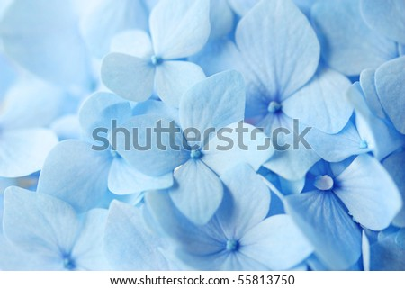 Blue Hydrangea Flower on white background