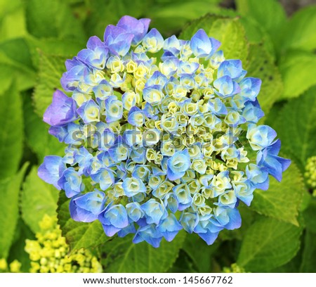 Blue hydrangea flower starting to bloom. - stock photo