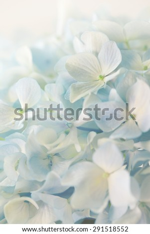 blue hydrangea flower with solf light - stock photo