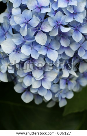 Blue Hydrangeas - stock photo