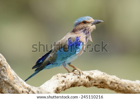 Blue Indian Roller on a dead branch - stock photo