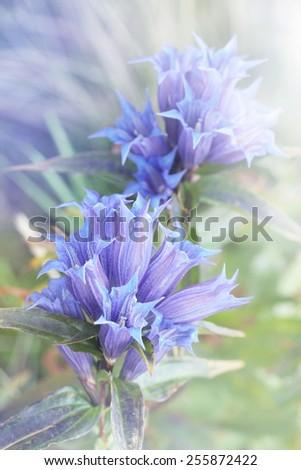Blue inflorescence mountain bell, beautiful summer flower - stock photo