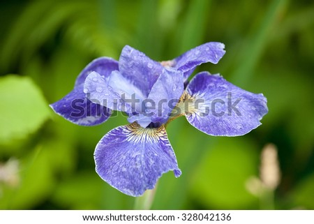 blue iris flower closeup with water drops on the petals - stock photo