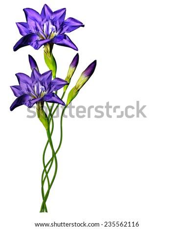 Blue iris flower isolated on white background - stock photo
