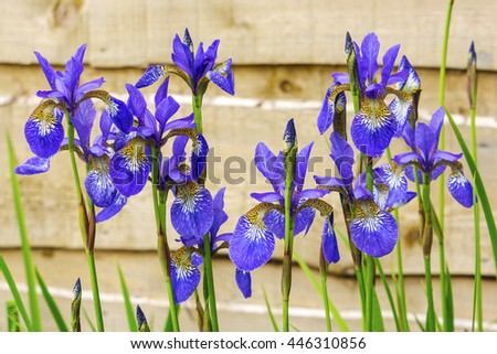Blue iris flowering plants in a garden. - stock photo