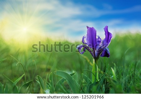 Blue Iris (Iris L.) in the green grass against the sky - stock photo