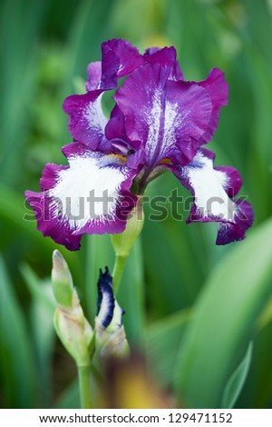 blue irises blossoming in a garden, Giardino dell' Iris in Florence, Italy - stock photo