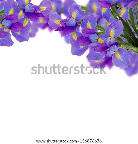 blue irises border  isolated on white background - stock photo