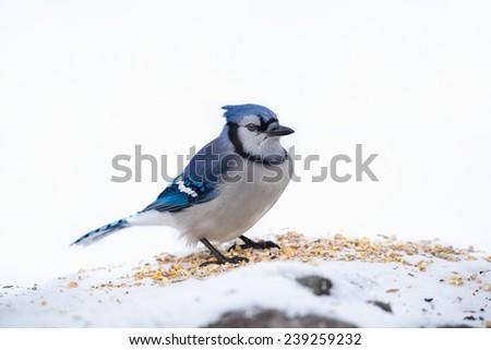 Blue Jay - stock photo