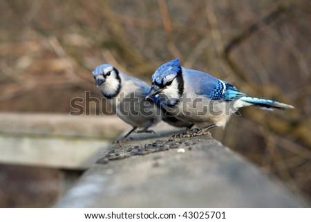 Blue-jay - stock photo