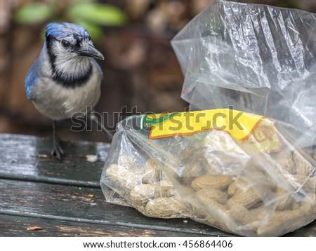 blue jay, Cyanocitta cristata is a passerine bird in the family Corvidae, native to North America eating peanuts - stock photo