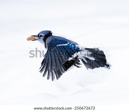 Blue Jay Got a Peanut in Winter - stock photo