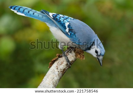 Blue Jay perched on a dead branch looking for something. - stock photo