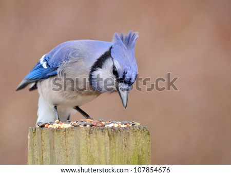 Blue Jay perched on a post eating looking at bird seed. - stock photo