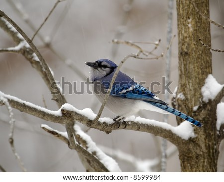 Blue Jay perched on a tree branch on a snowy day - stock photo