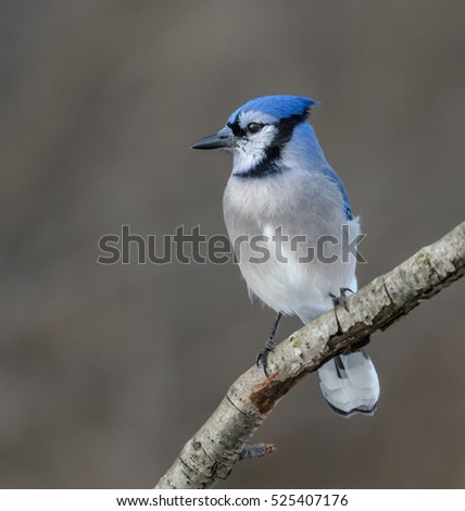 Blue Jay Portrait in Winter