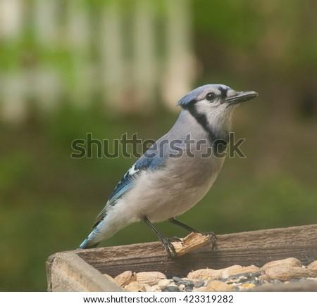 Blue-jay with a peanut on a feeder. - stock photo