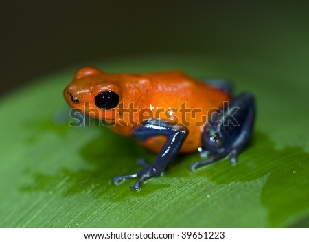 blue jeans or strawberry poison dart frog on green leaf, costa rica - stock photo