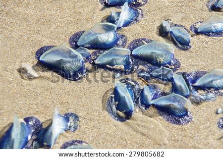 Blue jellyfish ( Velella velella ) stranded on beach,  Otter Crest, Oregon Coast - stock photo