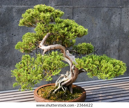 Blue Juniper Bonsai