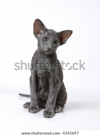Blue kitten of breed of Oriental - stock photo