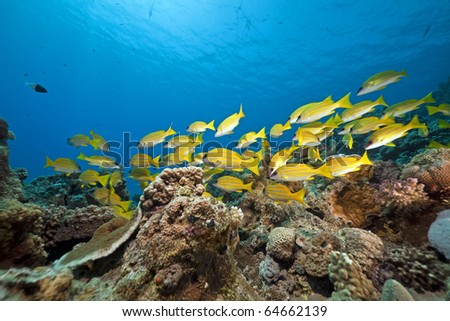 Blue lined snappers and  coral taken in the Red Sea. - stock photo