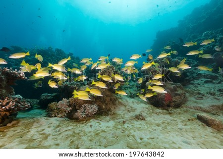 Blue-lined snappers in the Red Sea - stock photo