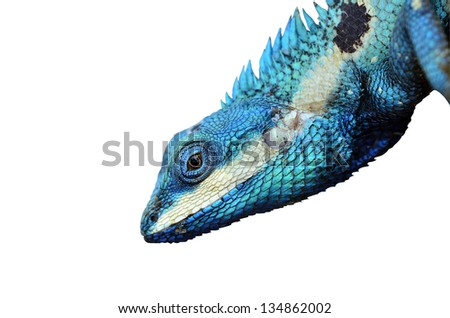 Blue Lizard with big eyes in closed up details, like small reptile with nice details on its painted body - stock photo