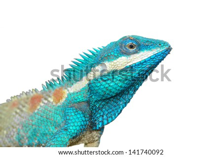 Blue Lizard with big eyes in closed up details, on white background - stock photo