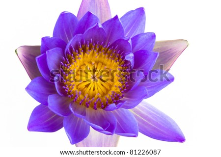 Blue lotus flower and white background. The lotus is national flower for Thailand,India,Kampuchea and Bengal. Lotus flower in Asia is a important culture symbol. - stock photo