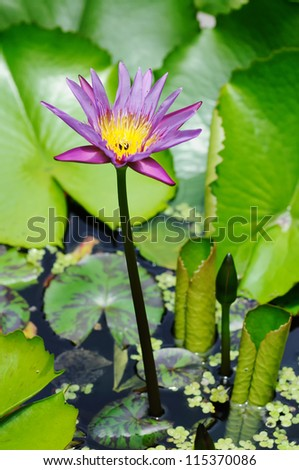 Blue lotus flower. Close-up. Narrow depth of field.