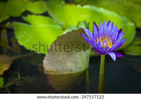 Blue lotus (Nymphaea caerulea) in sea - stock photo